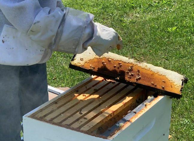 Beekeeper with bee hive opened